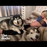 Malamutes and Maine Coon Cat Meet Human Baby Sister For The First Time | The Dodo