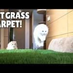 Cat Grass Carpet!! How Will My Cats React?ㅣKittisaurus