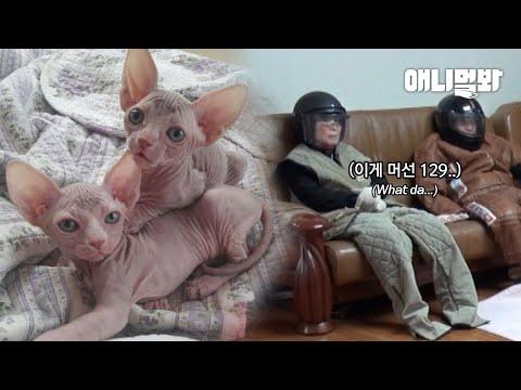같이 사는 고양이 때문에 나는 오늘도 집 안에서 헬멧을 쓴다..ㅣThe Man Has To Wear A Helmet At Home Because Of His Cat