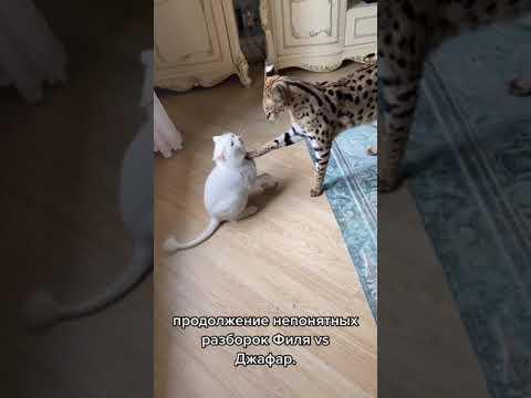 """Big Cat """"Calm Down"""" 😳🐈"""