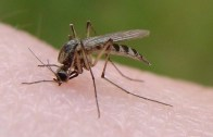 mosquito_bite_from_flickr
