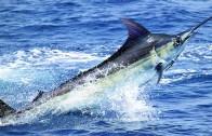 Atlantik Kılıçbalığı Oltacıyı Hafif Sıyırıyor!