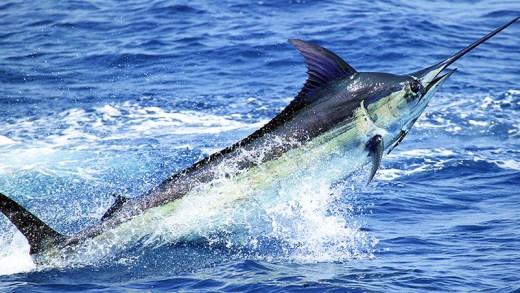 Kılıçbalığı avı