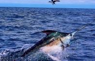 Atlantik Kılıçbalığının Kurtuluş Öyküsü