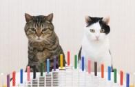 Kedilerin Domino Taşlarıyla Yaptıkları Muhteşem Performans