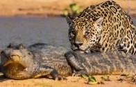 Kim Kazanır? Timsah Mı Yoksa Jaguar Mı?
