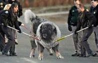 Yolunuzu Değiştireceğiniz 10 Tehlikeli Köpek türü