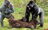 Kim Daha Güçlü? Goril ve Ayı Karşılaştırması