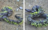 Bulaşmaması Gereken Canlılarla Uğraşan Tehlikeli Hayvanlar