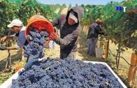 Çağdaş Tarım Makineleri ile Geleneksel Şarap Yapımı