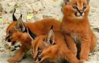 Doğadaki Nadir Kediler Görünüşleri ile Korkutuyor!