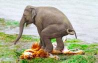 Fil Saldırıları – Ormanın Kralı Olduklarının Kanıtı!