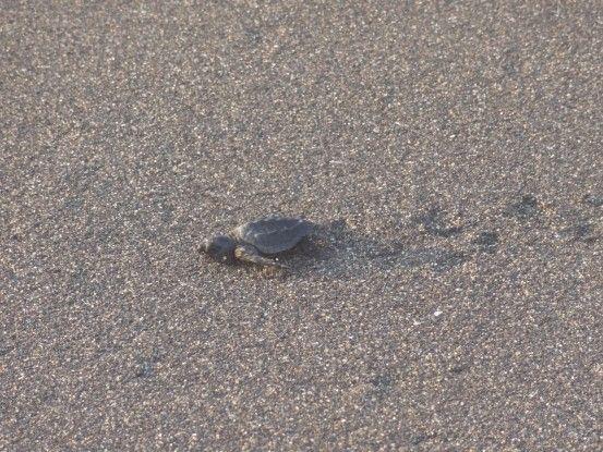 Petite tortue qui va vers le large à Monterrico photo blog voyage tour du monde travel https://yoytourdumonde.fr