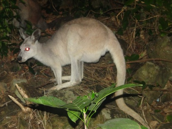 Australie- Whitsunday: En soiree petit cache cache pour trouver les douches et les kangourous.