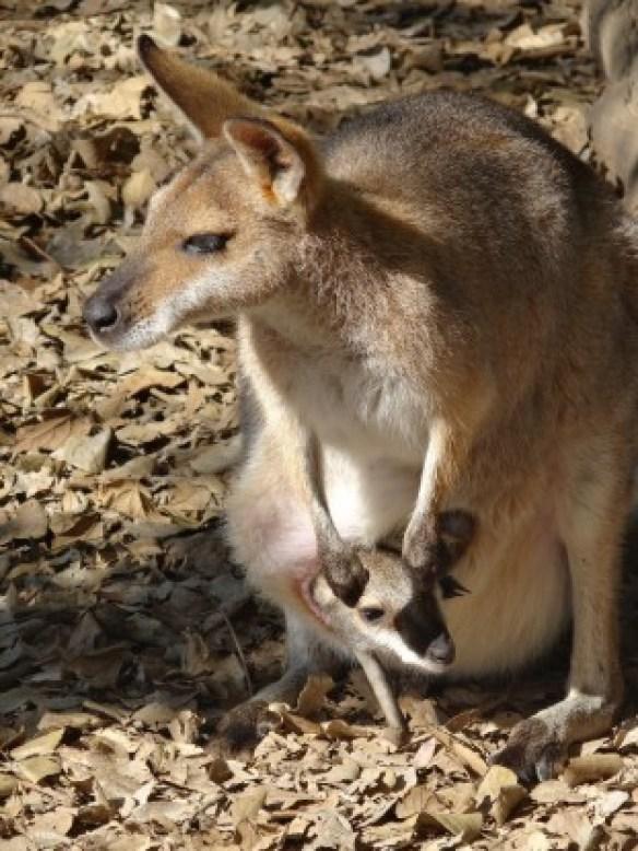 Australie- Brisbane: Maman et bebe kangourou!
