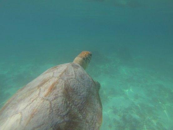 tortue-lifou