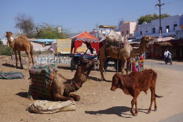 Les chameaux sont omnipresent du coté de Pushkar dans le nord de l'Inde il faut dire que le desert est juste à coté. Photo blog voyage tour du monde http:/yoytourdumonde.fr