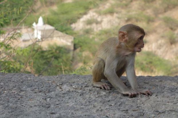temple des singes a jaipur photo blog voyage tour du moned https://yoytourdumonde.fr