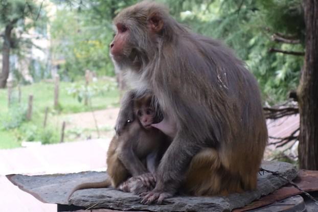 les singes et autres animaux sont très present du coté de Dharamsala photo blog voyage tour du monde https://yoytourdumonde.fr