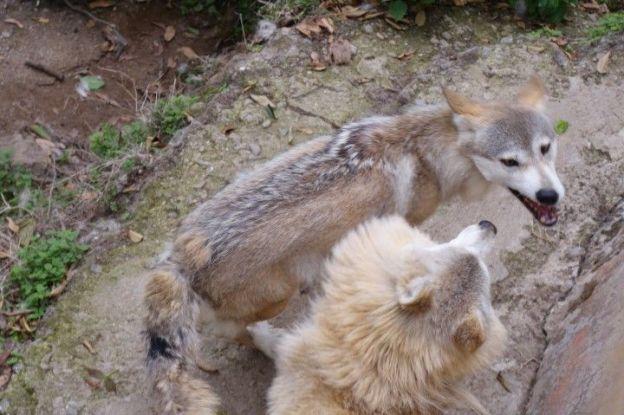 Des loups sont presents dans le zoo de darjeeling en inde. Photo blog voyage tour du monde https://yoytourdumonde.fr
