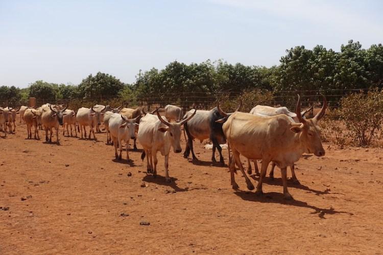 Un troupeau de vache non loin de Popenguine au Sénégal photo blog voyage tour du monde https://yoytourdumonde.fr