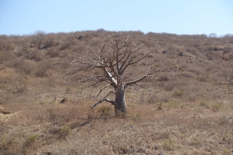Les baobabs sont nombreux près de Popenguine. Photo blog voyage tour du monde https://yoytourdumonde.fr