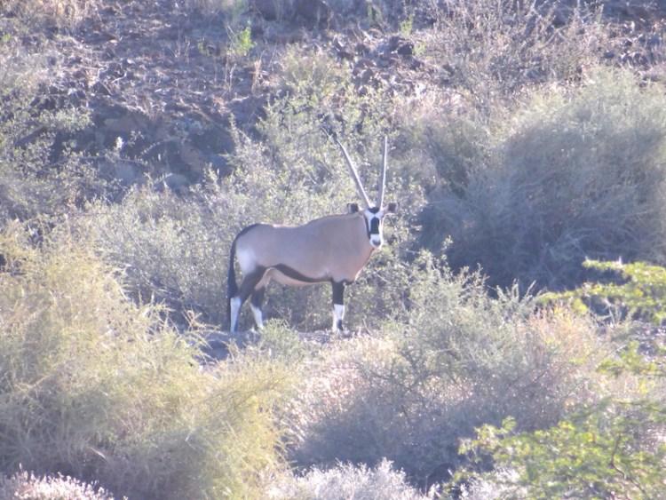 Notre premier Oryx a été vu du coté de la réserve d'Hardap en Namibie photo blog voyage tour du monde https://yoytourdumonde.fr