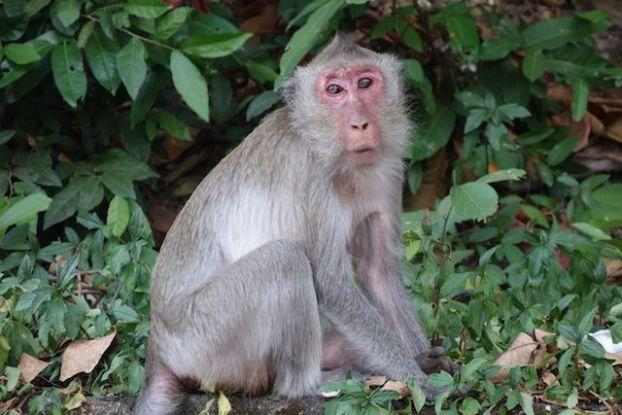 Il y a de nombreux singe du coté de Kep au Cambodge. Article complet: https://yoytourdumonde.fr