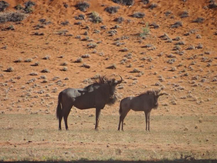 Des gnous du coté d'Elim Dune en Namibie dans le désert de Namiib près de Sesriem à Sossusvlei photo blog voyage tour du monde https://yoytourdumonde.fr