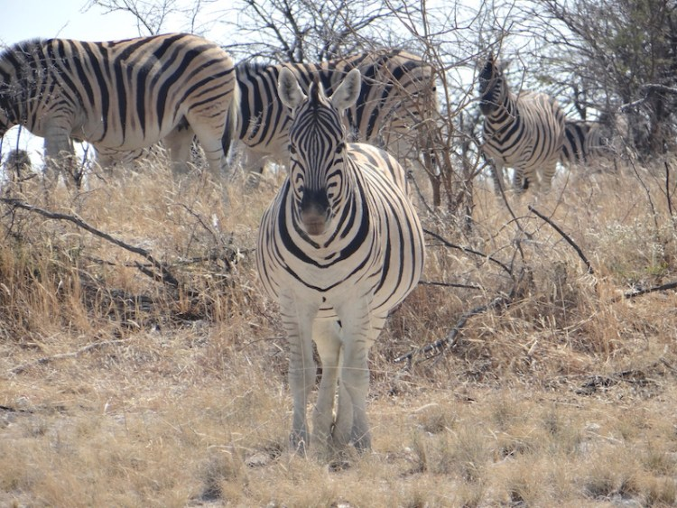 Zebre à Etosha en Namibie photo blog voyage tour du monde travel Afrique https://yoytourdumonde.fr