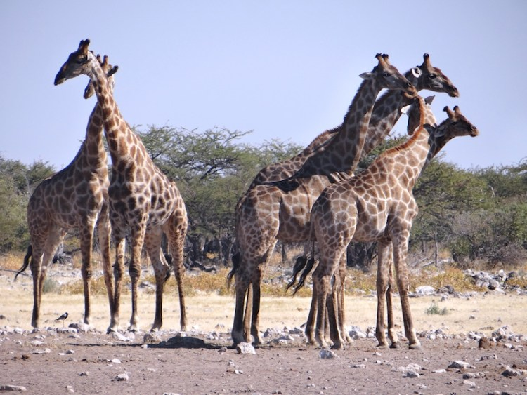Troupeau de girafes à Etosha en Namibie photo blog voyage tour du monde travel Afrique https://yoytourdumonde.fr