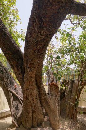 bouddha-arbre-inde-varanasie-eveil
