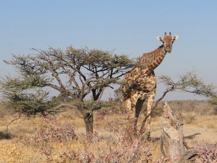 Il y a de très nombreuses girafes à Etosha photo blog voyage tour du monde travel Afrique https://yoytourdumonde.fr