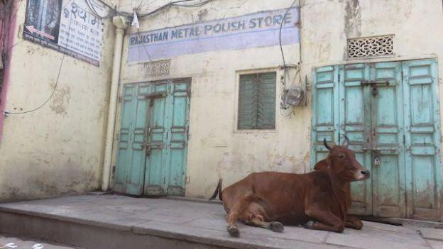 En inde les vaches sont sacrées et vous pouvez les trouvés dans les centres ville comme a Jaipur photo blog voyage tour du monde https://yoytourdumonde.fr