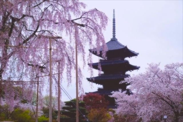 Les cerrisiers en fleurs entre mars et avril, une beauté à ne pas manquer photo blog voyage tour du monde http://yoytourdumondefr