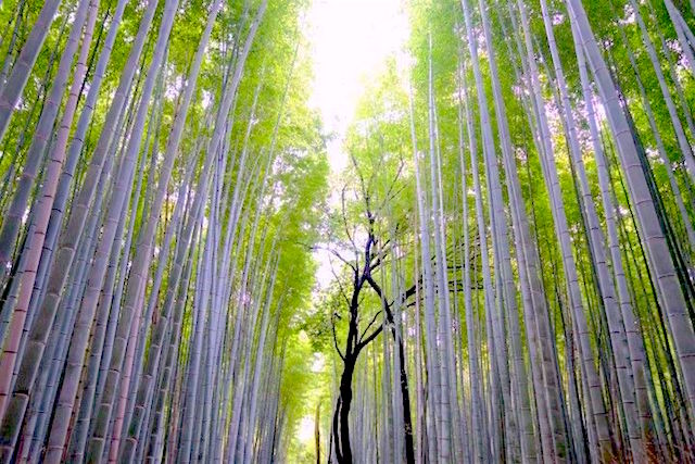 Les couleurs de la foret de bambou est vraiment un endroit époustouflant photo blog voyage tour du monde https://yoytourdumonde.fr