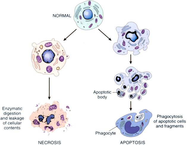 Απόπτωση-προγραμματισμένος κυτταρικός θάνατος
