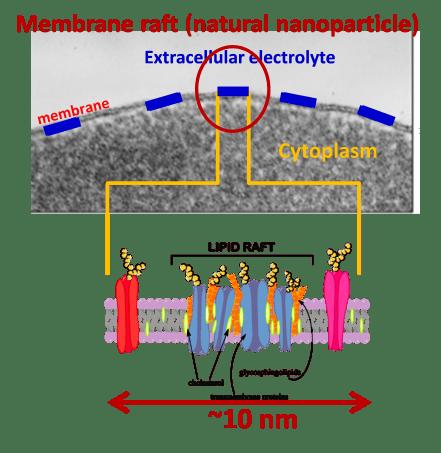 Μεμβρανική σχεδία: Ομοιότητες και διαφορές μεταξύ κλασσικής υπερθερμίας και ογκοθερμίας