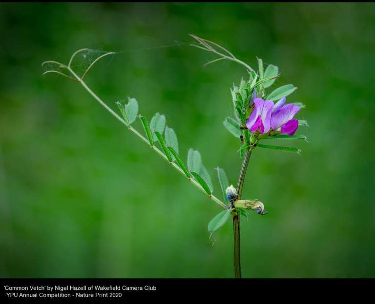 Wakefield Camera Club_Nigel Hazell_Common Vetch