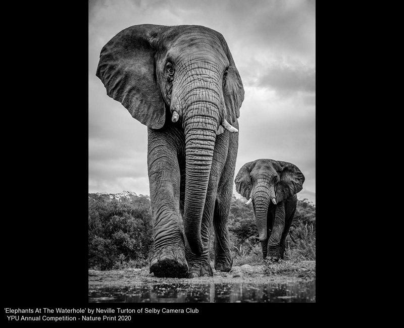 Selby Camera Club_Neville Turton_Elephants At The Waterhole