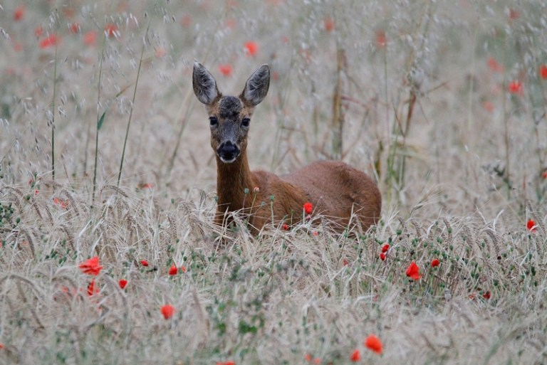 PUDS24090_Joshua Garbutt_Roe Deer with Poppies_800px
