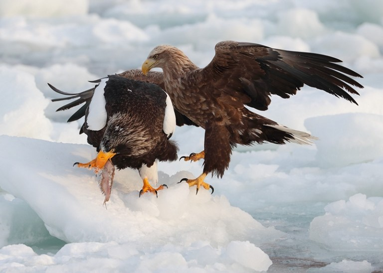 LEPS22919_Nicola Billows_Eagles scrapping_800px