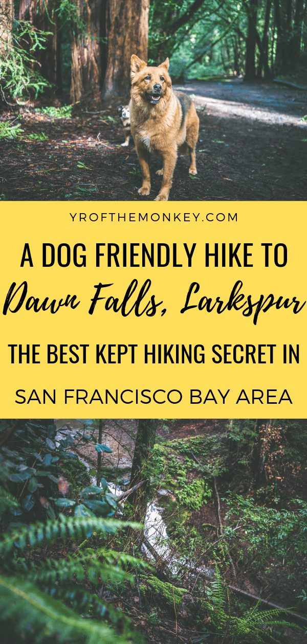 Looking for the most beautiful dog friendly hike in San Francisco Bay Area? Then look no further than this hike to a waterfall along the Dawn Falls trail in Larkspur north of Golden Gate Bridge. Pin this to your hiking, outdoors or California board now #hiking #hikingwithdogs #dogfriendlyhiking #Sanfranciscobayarea #waterfalls #waterfallhike #travelwithdogs #USA #California #bayarea