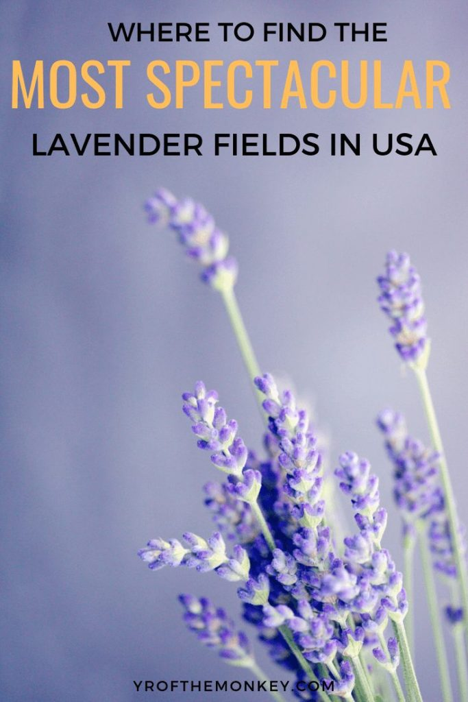 Too busy or broke to travel to Europe to see the lavender fields of Provence? Worry not, cause you can find plenty of lavender farms right here in USA. Read this guide to the top spots for visiting lavender fields in continental USA and pin this to your US board now #lavender #lavenderfields #USA #summertravel #flowerfields #lavenderfarms