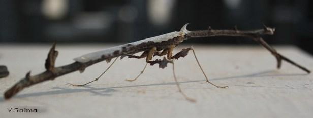 Serangga Ranting Pohon1