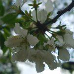 桜・・・見ないうちに。。。
