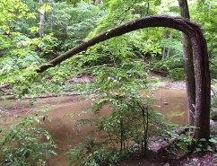 collapsed tree across Birch Creek