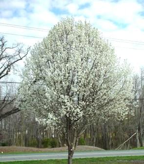 A Callery pear tree in bloom. Bradford pear is a popular cultivar. (Ohio Forestry Association)