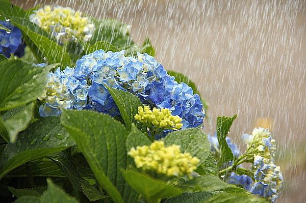 雨とあじさい