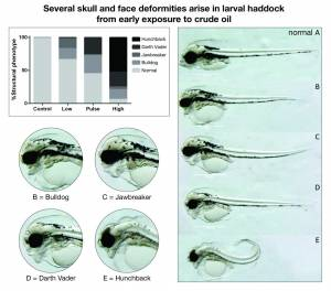 These are examples of severe deformities found in larval haddock exposed to crude oil. Credit: NOAA Fisheries/NWFSC